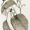 A climbing culcasia arum (C. Scandens).
