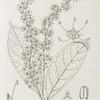 Urobotrya angustifolia