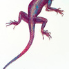 The Red and Blue lizard (Agama colonorum).