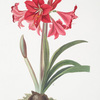 Amaryllis Johnsoni.