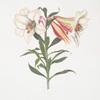 Lilium Japonicum.