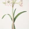 Amaryllis solandriflora var.