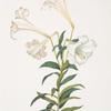 Lilium longiflorum.