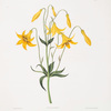 Lilium canadense. [Canada Lily, Wild Yellow Lily]