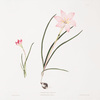 1. Zephyranthes carinatus. 2. Zephyranthes rosea. [Zaphyr lily, Fairy lily, Rain lily]