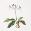 Griffinia hyacinthina.