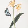 Amaryllis crocata - Papilio nestor branil