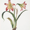 Amaryllis psittacina [Parrotlily, Parrot flower, Red parrot beak, New Zealand Christmas bell]