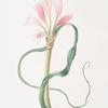 Amaryllis longifolia (glauca)