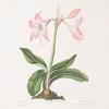 Amaryllis steilatafolia