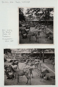 Central Java - People, landscape. Deer among the temple stones of Prambanan.