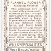 Flannel Flower (Actinopus helianthi).