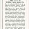 Greenfinch-Bullfinch Hybrid.