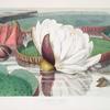 Victoria Regia. (Opening flower)