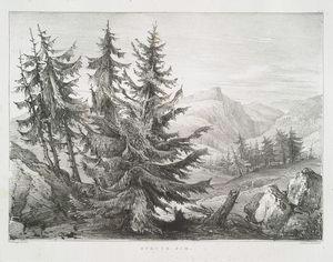Spruce fir.