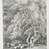 Hazel nut tree, in Knowle Park, Kent.
