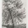Black Poplar, near Rofs, Herefordshire, on the Estate of John Cooke, Esqr.