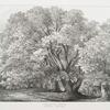 Chestnut trees, Suning Hill Park, Windsor Forest.