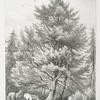 Weymouth pine.
