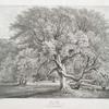 Ash trees, at Woburn Abbey, Seat of his Grace, the Duke of Bedford.