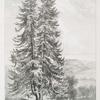 Silver fir, Westbrook Park, Godalming, Surrey, Seat of R. Cahill Esqr.