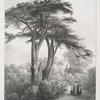 Ancient cedar of Lebanon, in the Botanical Gardens, Chelsea.