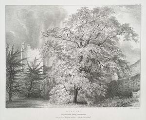 Acacia, at Buckland Abbey, Devonshire, Seat of Sir T.Trayton Fuller - Ellcott Drake, Bart.
