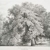 Horse Chestnut trees, Bishops Walk, Fulham.