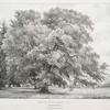 Ilex or Evergreen Oak, at Chorleywood, Herts, Seat of Edmond Morris Esqr.