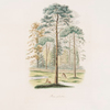 Pinus sylvestris. [a pastoral scene of pines with some deers]