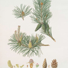 Pinus sylvestris = Scotch fir.