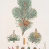 Pinus pumilio = The mugho, or Mountain pine.