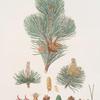 Pinus pumilio = The mugho, or Mountain pine.