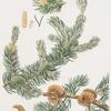 Pinus banksiana = Labrador pine