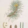 Pinus laricio = Corsican pine