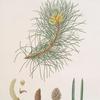 Pinus laricio = Corsican pine