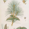 Pinus pallasiana = Tartarian pine.