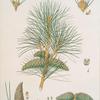 Pinus pallasiana = Tartarian pine.