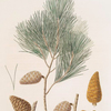 Pinus maritima = Maritime pine