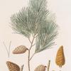 Pinus maritima = Maritime pine