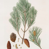 Pinus halepensis = Aleppo pine