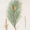 Pinus massoniana = Indian pine