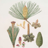 Pinus pinaster = The pinaster, or Cluster pine