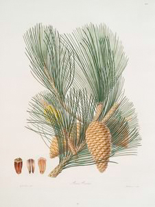 Pinus pinaster = The pinaster, or Cluster pine