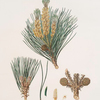 Pinus pinea = The stone pine