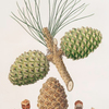 Pinus pinea = The stone pine