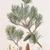 Pinus inops = Jersey pine