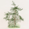 Pinus inops = Jersey pine (drawn from a tree growing in the Royal Garden at Kiw