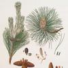 Pinus resinosa = Pitch pine