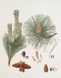 Pinus resinosa = Pitch pine